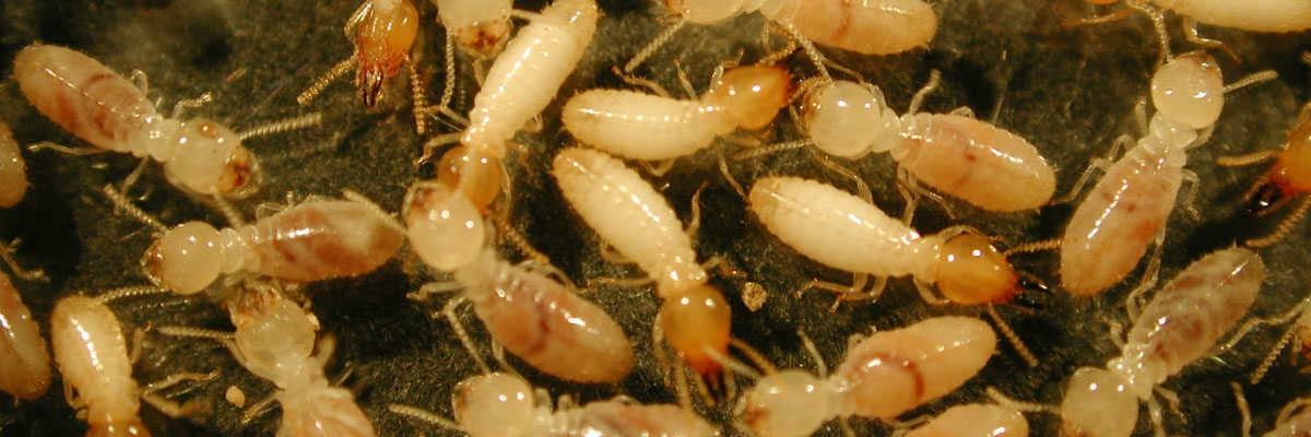 Termites Control Companies – Relevance And Importance